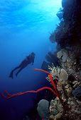Diver And Red Finger Sponge