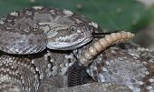 stock photo of blacktail  - A tightly coiled and rattling blacktail rattlesnake - JPG