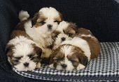 Постер, плакат: помет щенков четыре щенки Ши тцу лежа на кровати собаки