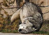 Grey Wolf 10