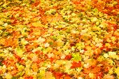 Piles of beautiful dry autumn leaves scattered over the ground