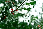 Holly bush with red berries covered in snow