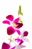 Royal pink orchid isolated on white background