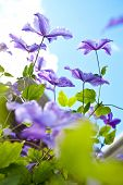 Blooms of purple clematis against blue sky