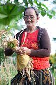 YA GANGGA BALI - 13 SEPT: Old lady gathers hay from paddy field as part of offering basket known as 'canang sari' in Ya Gangga, Bali Indonesia 13 Sept 2010.