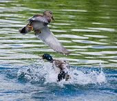 Gadwall and Mallard Duck fight