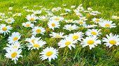 Large white daisies