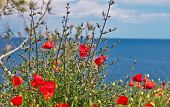 Red Poppy With Aegean Sea View, Thassos Island, Greece, Wildflowers, Red Poppies, Poppy, Red, Landsc poster