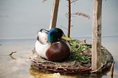 A male Mallard duck sitting on a small island in a pond, at Bedgebury pinetum in Kent, England.
