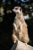 A Meercat standing upright on a log, keeping watch for the rest of the group.
