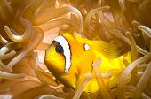 Anemone fish over sea anemone.