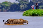 Jaguar, Panthera Onca, Female, Observed By Unrecognizable Tourists Crossing Cuiaba River, Pantanal,  poster