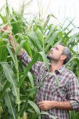 Granjero comprobar su campo de maíz