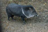 PIG peccary