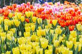 Tulip Flower With Green Leaf Background. Flower In Garden At Sunny Summer Or Spring Day. Flower For  poster