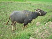 picture of carabao  - Carabao in the green fields - JPG