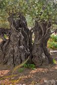 The ancient tree split by a lightning,  in Gethsemane Garden  in Jerusalem