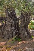 The ancient tree split by a lightning,  in Gethsemane Garden  in Jerusalem