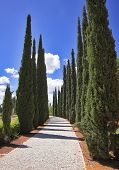 Amazing avenue of cypresses in park in Akko
