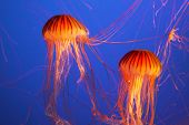 Magnificent bright exotic jellyfishes in an aquarium of an aqua-park of Vancouver