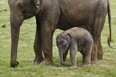 One-month-old Indian elephant (Elephas maximus indicus) with his mother. poster