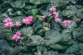 This Beautiful Waterlily Or Lotus Flower Is Complimented By The Rich Colors Of The Deep Blue Water S poster