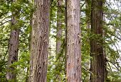 group of redwood tree trunks