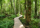 boardwalk and cypress tree swamp
