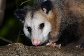 pic of opossum  - opossum at night - JPG