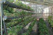 Strawberrys In Hydroponic Grows
