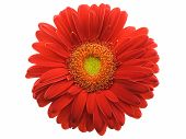stock photo of gerbera daisy  - Red gerbera daisy isolated on a white background - JPG