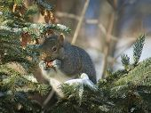 Gray Squirrel - Sciurus Carolinensis - Eastern Gray Squirrel Or Grey Squirrel, Closeup On Spruce Bra poster