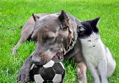 Dog with a cat play a ball on a grass