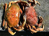 Two Dungeness Crab on pebble beach