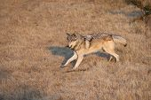 foto of north american gray wolf  - Adult Male North American Gray Wolf in Montana - JPG