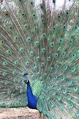 Peacock 1