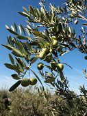 Green olives close up