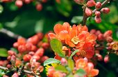 Japanese Quince (Chaenomeles) Flowers On Shrub In Spring
