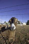 pic of nubian  - A humorous closeup of a nubian goat behind a fence - JPG