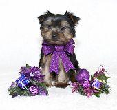 Christmas Yorkie Puppy.
