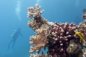 coral reef with soft and hard corals and diver in red sea