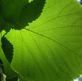 Green Leaf Of A Linden
