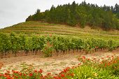 Rows of Grapevines with Red Roses