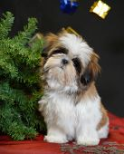 Shih Tzu Puppy With Christmas Tree