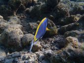 picture of dory  - Dory from Finding Nemo captured in the Maldives - JPG
