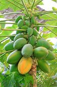 Papaya Fruit On The Trees In A Modern Plantation