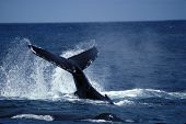 Humpback Whale Slapping Tail