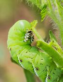 image of hornworms  - Macro close up of tomato hornworm caterpillar with multiple eye spots destroying a tomatoes plant in garden - JPG