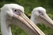 Side View Of Pelicans
