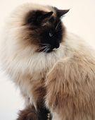 Beautiful Blued Eyed Cat